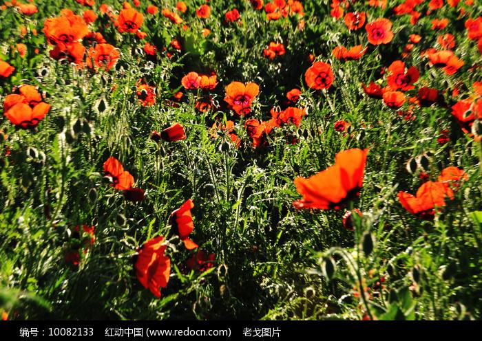 红花近摄图片