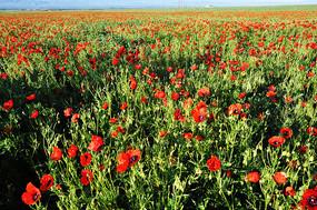 一大片天山红花