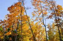 林区杨树林