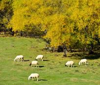草原上的白羊