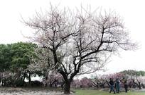 上海世纪公园梅花树