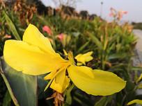 公园里的黄色美人蕉