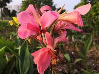 公园绿化粉色美人蕉