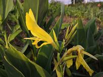 含苞待放的黄色美人蕉