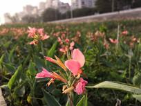 阳光下绽放的粉色美人蕉