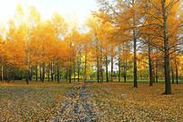 树林灿烂的秋色