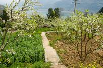 巫山曲尺乡春天的李花树