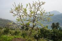 巫峡山野中的李子树