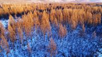 雪野松林景观