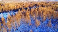 雪原上的松林