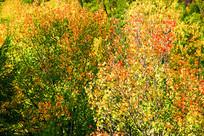 五彩秋季树林
