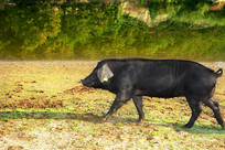 行走的黑猪