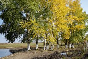 河边杨树林