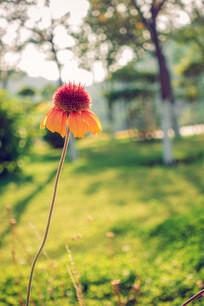 黑心菊景观花