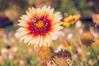 宿根天人菊与蜜蜂