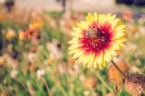 宿根天人菊与蜜蜂特写