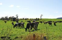 田园牛群风光