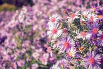 紫苑花景观花