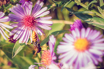 紫苑花上的蜜蜂