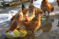 食菜叶鸡群
