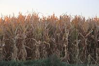 晨光中的玉米地