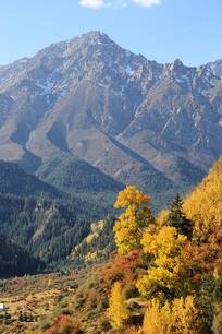 雪山下的金色森林