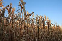 玉米地晨光