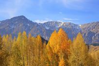 金色树林雪山背景