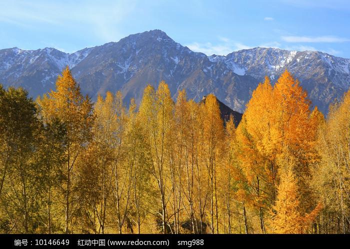 雪山下的金色树林图片