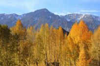 雪山下的金色树林