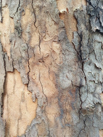树纹古树皮