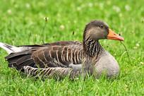 草丛里的鸭子