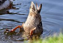 喝水的野鸭子