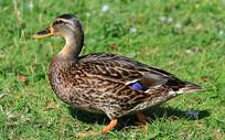 青草地上的鸭子