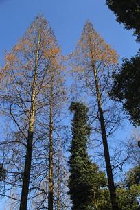 笔直水杉木