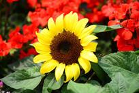 一朵太阳花
