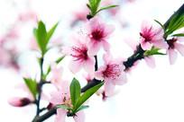 桃花-粉色记忆