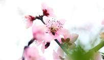 桃花上辛勤采蜜的蜜蜂