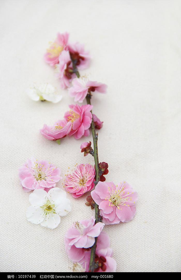 纯洁樱花图片