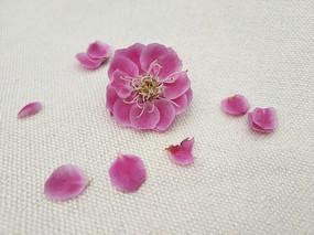 粉色花瓣花蕊