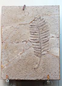 本内苏铁化石