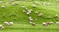 草坪牧场牧羊