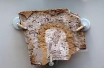 红杉小枝化石标本