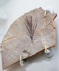 辽宁枝化石标本