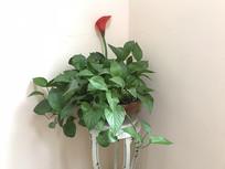 绿叶与红花