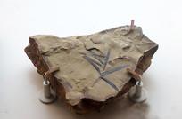 苏铁杉化石标本