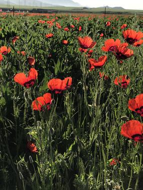 天山红花盛开