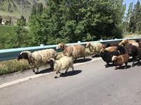行进的羊群
