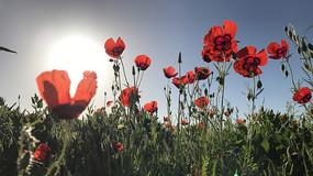 仰拍天山红花