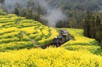 穿行在油菜花海中的蒸汽小火车